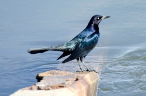 New York City Grackle