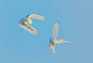 Snowy Owls at Odds Again!