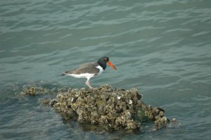 Oysters for the Oystercatcher