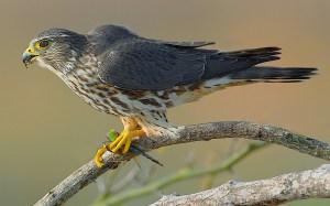 Merlin eating Green Darner