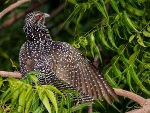 Asian Koel (Female)