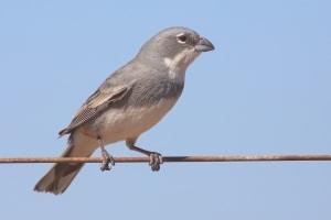 Diuca Común (Diuca diuca) Common Diuca-Finch
