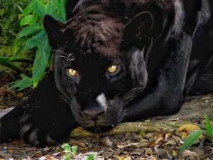 I Am Watching You! (Yucatan Black Jaguar)