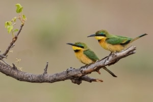 Little Bee-eaters on Twig