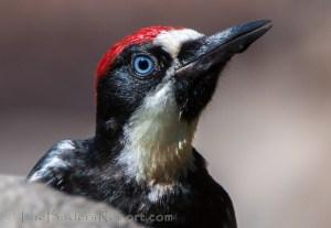Acorn Woodpeckers (Melanerpes formicivorus)