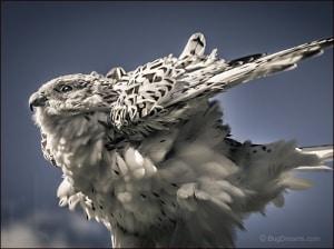 Gyrfalcon, Falco rusticolus