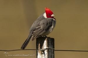 Red-crested Cardinal, Paroaria coronata