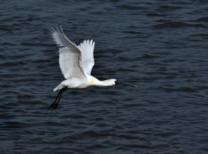 Black-faced Spoonbill - Lift off