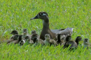 Mama Wood Duck and Her Babies