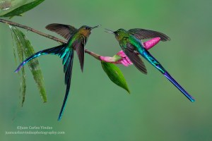 Two Violet-tailed Sylphs