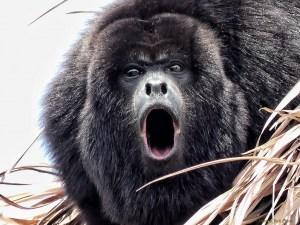 Yucatan Howler Monkey
