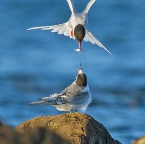 Arctic Tern Feeding Juvenile