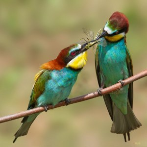 Tenderness - Mr. Bee-eater offers a wedding gift to his lady by Doina Russu