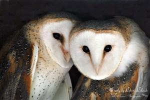 'The Barn Owl' by Roberto Rolando