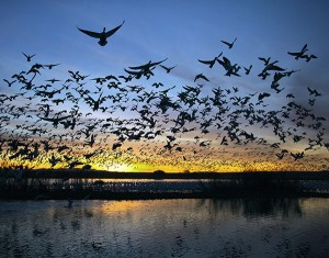 Blast Off! taken at Bosque del Apache by Frank Comisar