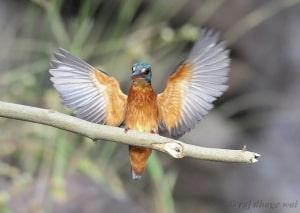 Common Kingfisher by Raj Dhage