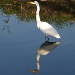 White Egret with Reflection by Wayne Vaughn