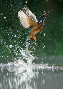 Kingfisher Fishing by Iain H. Leach