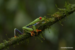 Red eyed-leaf-frog