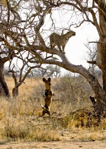 Dog Chases Leopard up Tree 3 Times