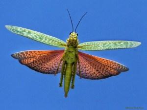 Yucatan Locust - in Flight