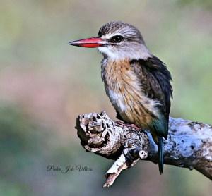 Brown-headed Kingfisher