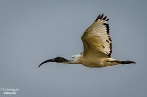 African Ibis
