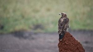 Tawny Eagle Hunting in Tanzania