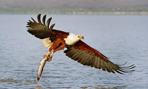 Successful Fish Eagle