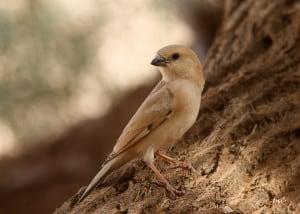 Desert Sparrow, Female