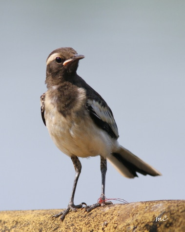 Tied Down !  Young White-browed Wagtail