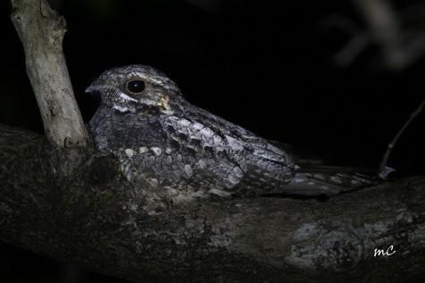 Jungle Nightjar (Caprimulgus Indicus)