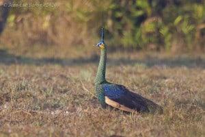 Green Peafowl Pavo Muticus Imperator