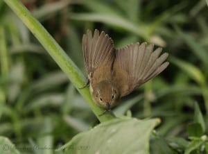 The Booted Warbler
