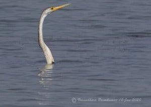 The Snake Bird