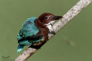 White-throated Kingfisher- Halcyon Smyrnensis