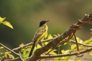 Yellow Wagtail- Motacilla Flave