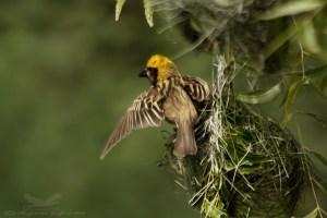 Baya Weaver - Ploceus Philippensis