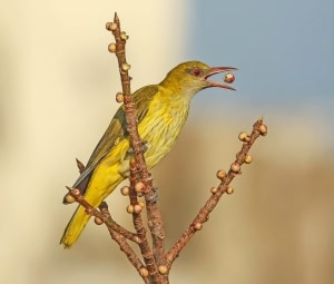 Indian Golden Oriole (female)
