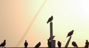 Pigeon Tableau