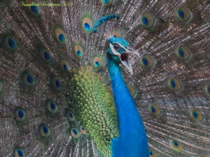 The Call of the Peacock -