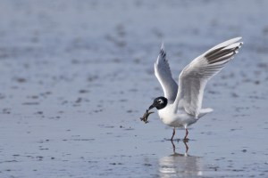 Saunders's Gull (breeding) with Crab