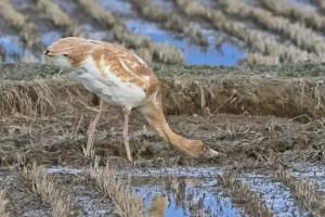 Siberian Crane (juvenile) Feeding