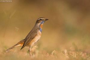 Bluethroat  -  Luscinia Svecica