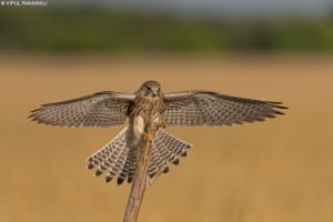 Common Kestrel  -  Falco Tinninculus