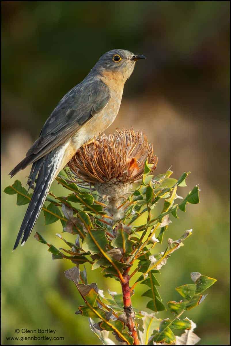 Fan-tailed Cuckoo (Cacomantis flabelliformis)