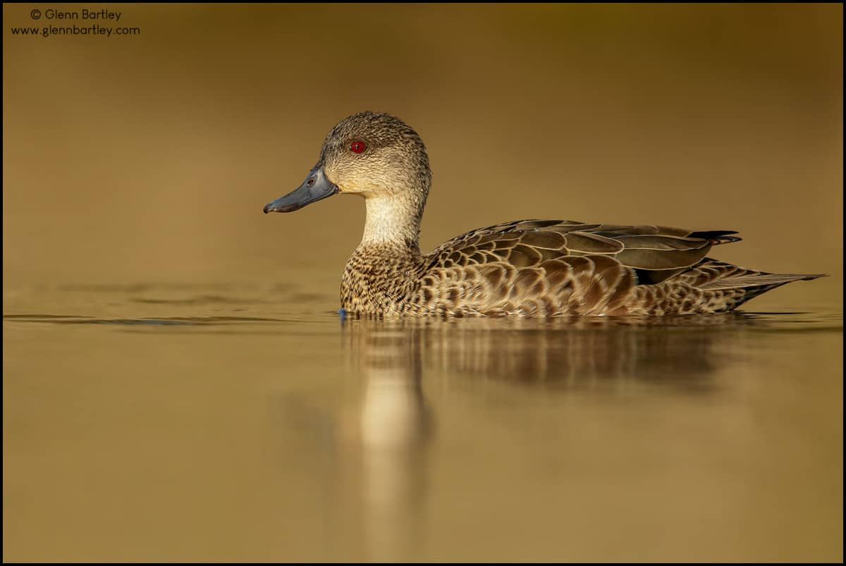 Grey Teal (Anas gracilis)