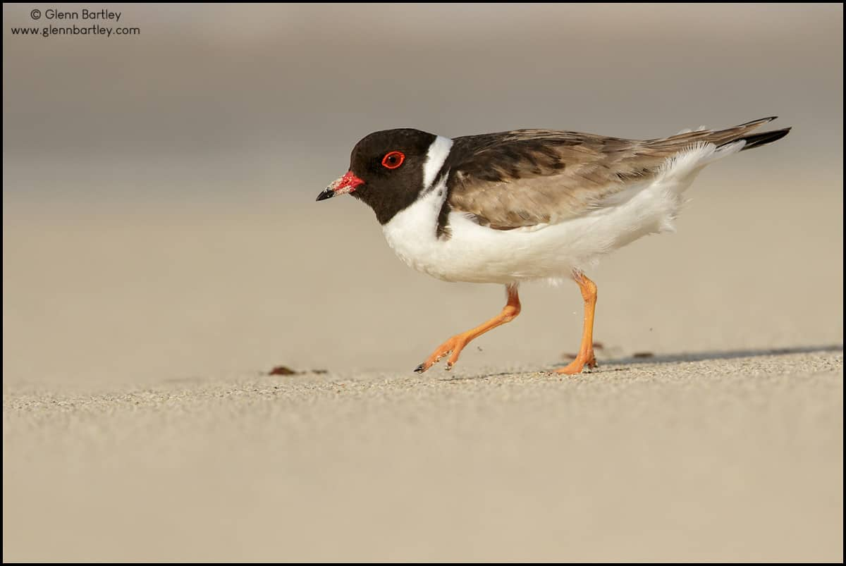 Hooded Plover (Thinornis cucullatus)