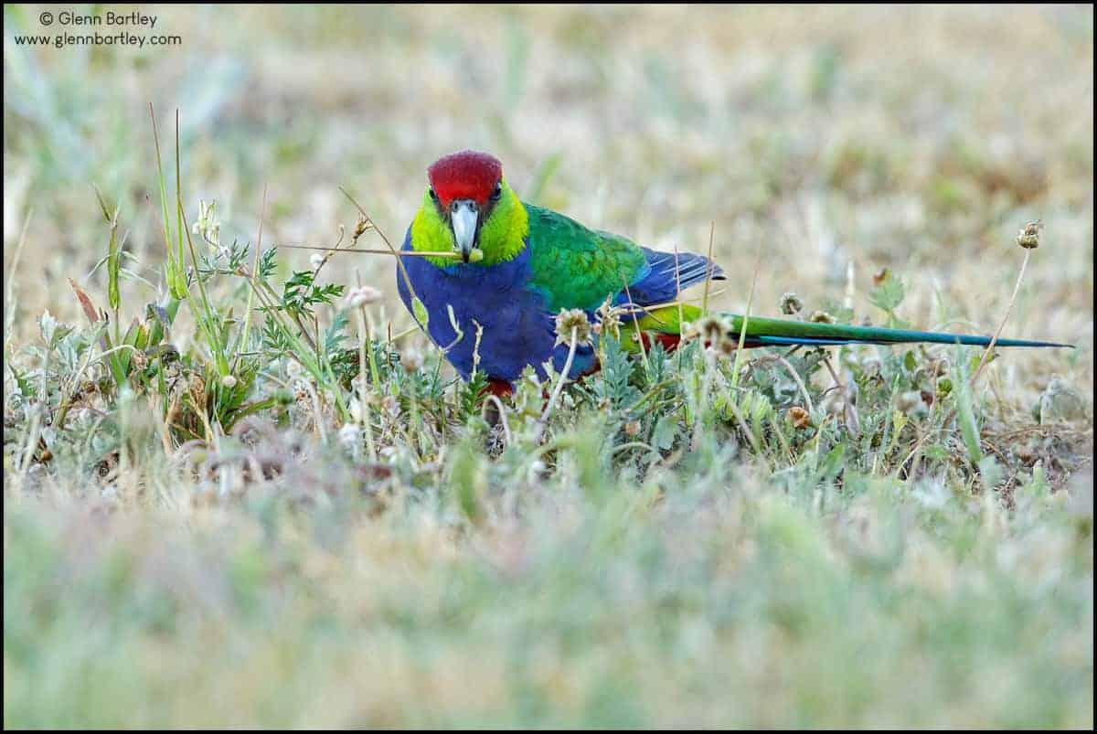 red-capped-parrot-purpureicephalus-spurius