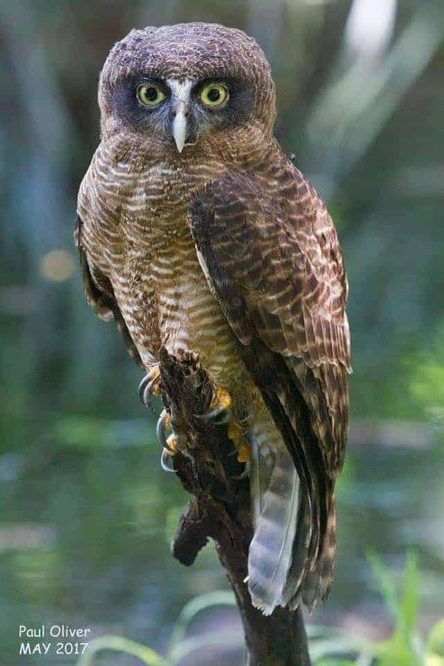 Rufous owl - photo#46